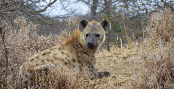 Hyena south africa