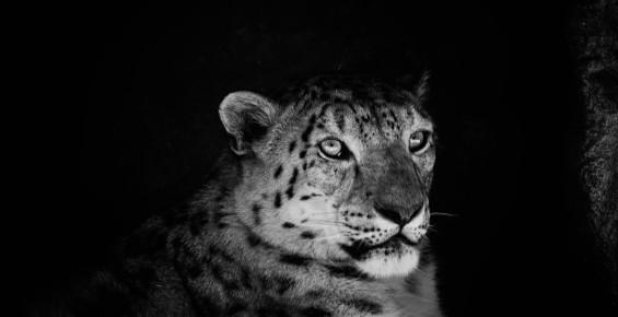 Leopard Sydney Zoo